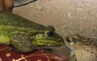 Wedding of frogs to invoke rain God (Video)
